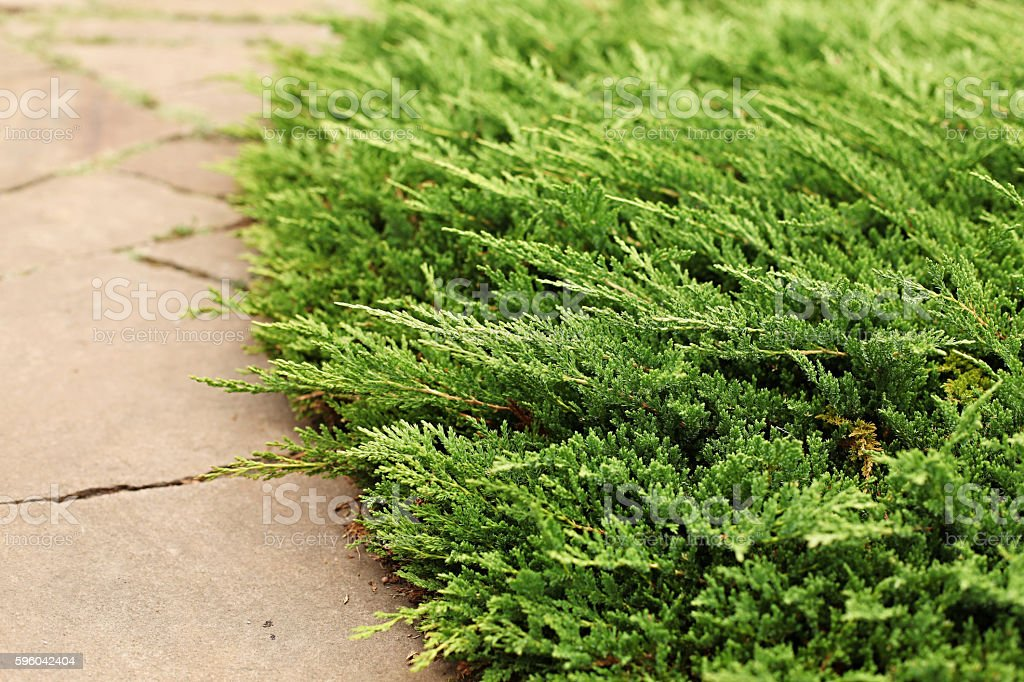 Juniper horizontal Prince of Wales stock photo