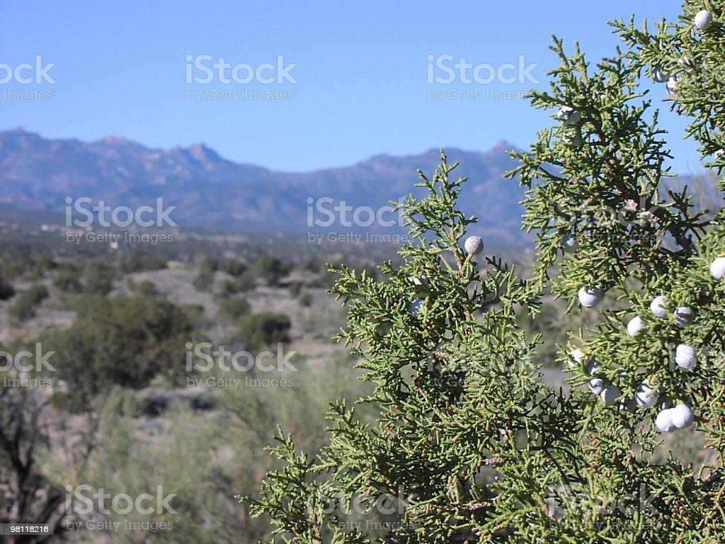 juniper in arizona royalty-free stock photo