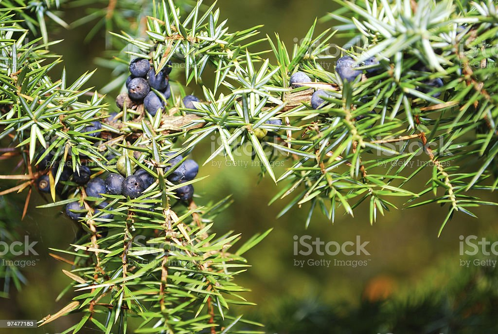 juniper in the forest royalty-free stock photo