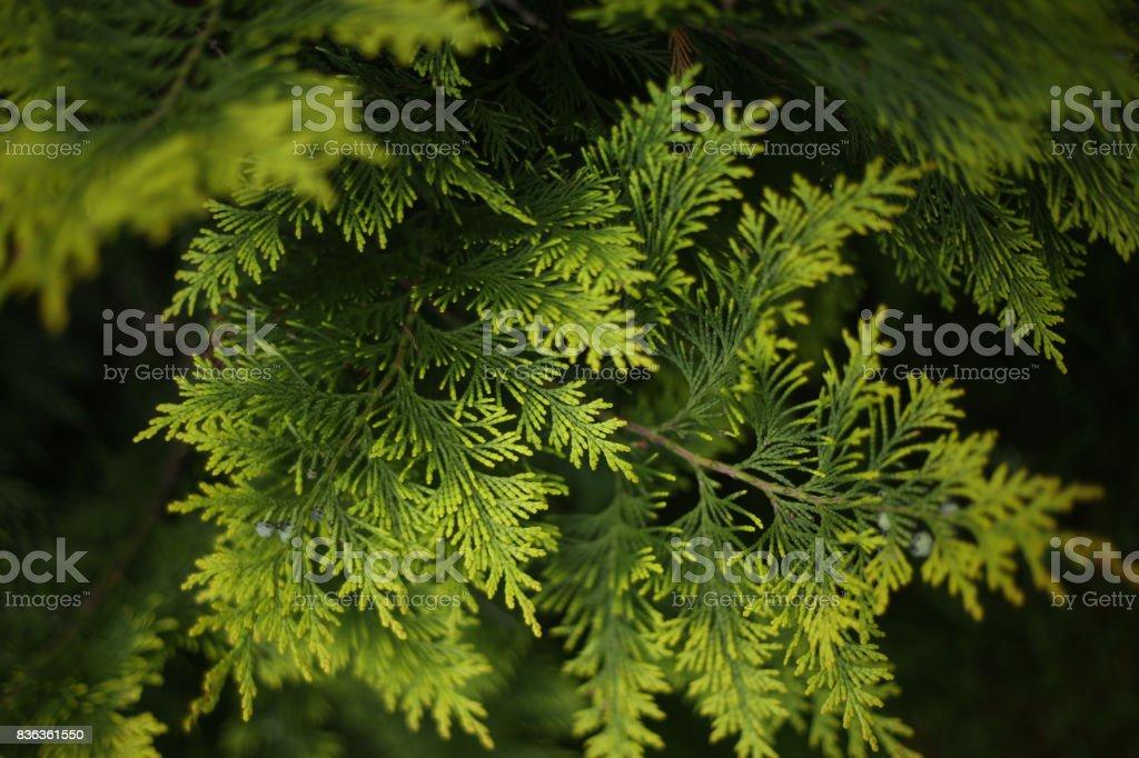 juniper leafs close up photo stock photo