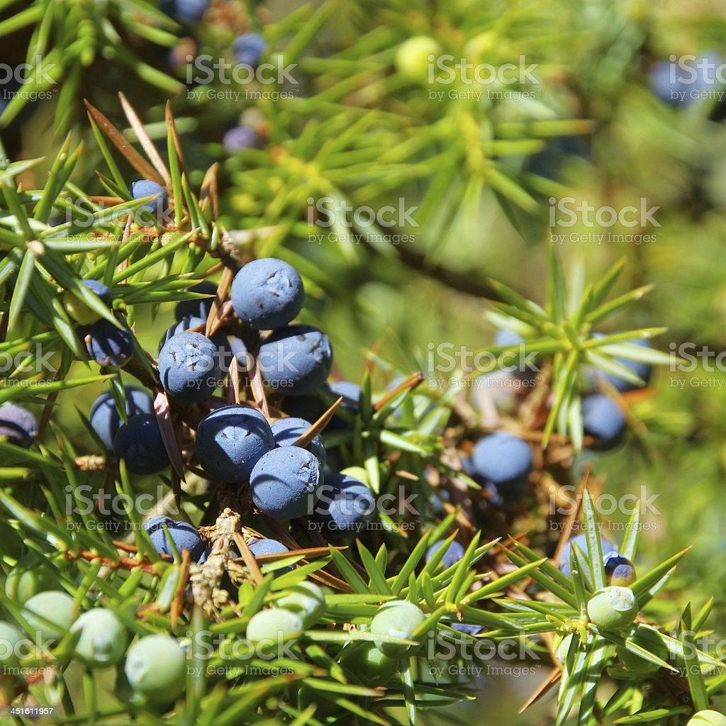 juniper stock photo