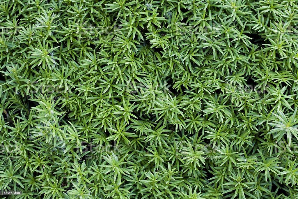 juniper royalty-free stock photo