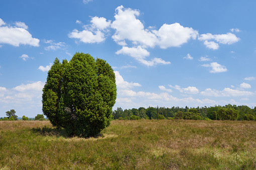 Juniper tree (Juniperus communis) and heathland in Luneburg heath, Germany