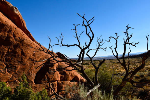 Juniper tree at Arches National Park, Utah Red rocks and juniper tree at Arches National Park, Utah. entrada sandstone stock pictures, royalty-free photos & images