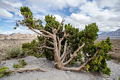 Juniper tree bush at Red Rock Canyon National Conservation Area
