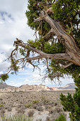 Juniper tree gives a natural frame to the desert scenery at Red Rock Canyon National Conservation Area