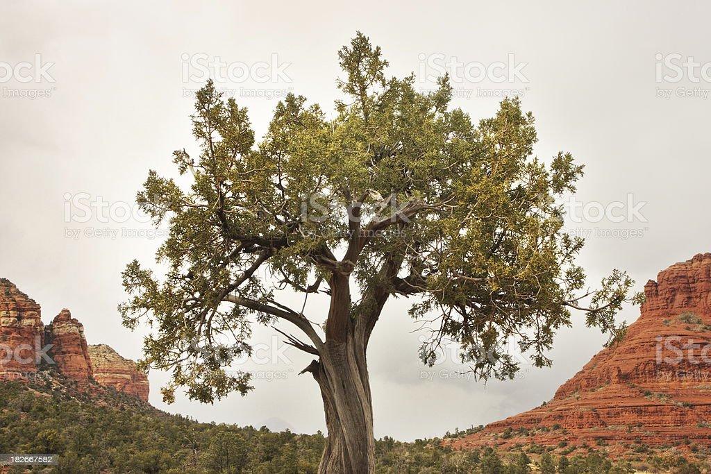 Juniper Tree Juniperus osteosperma Desert royalty-free stock photo
