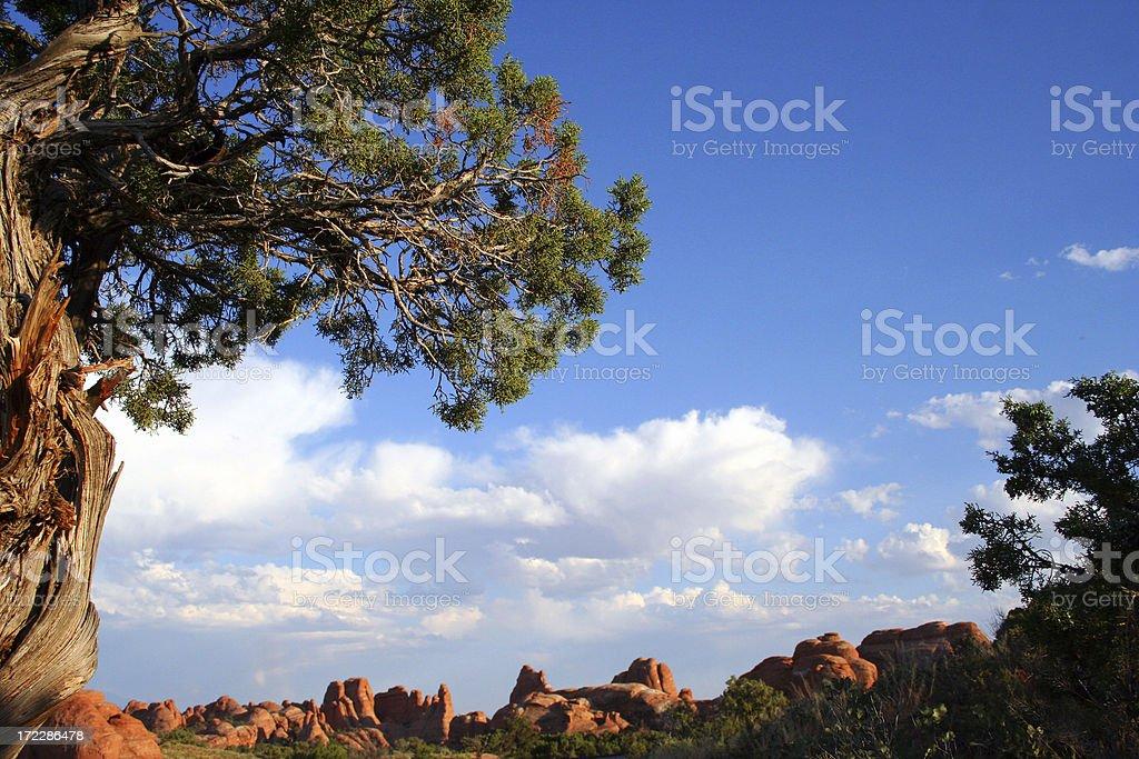 Juniper Tree royalty-free stock photo