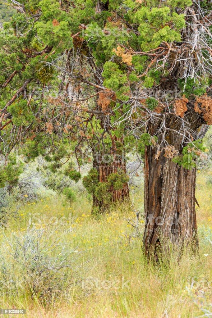 Juniper trees stock photo
