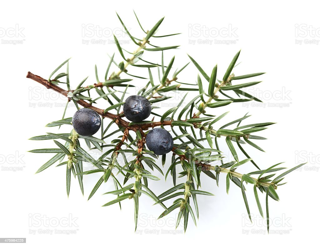 Juniper twig with berries royalty-free stock photo