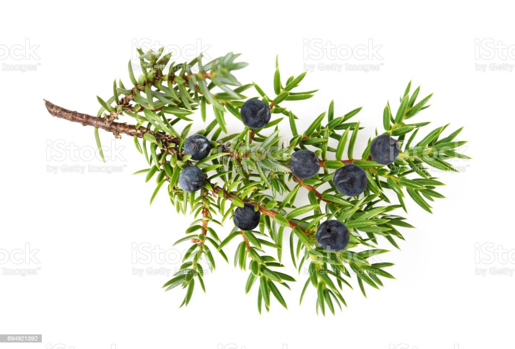 Juniper twig with berries stock photo