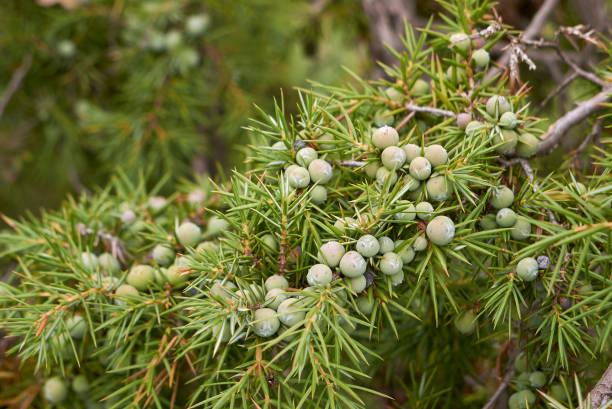 Juniperus communis bayas - foto de stock