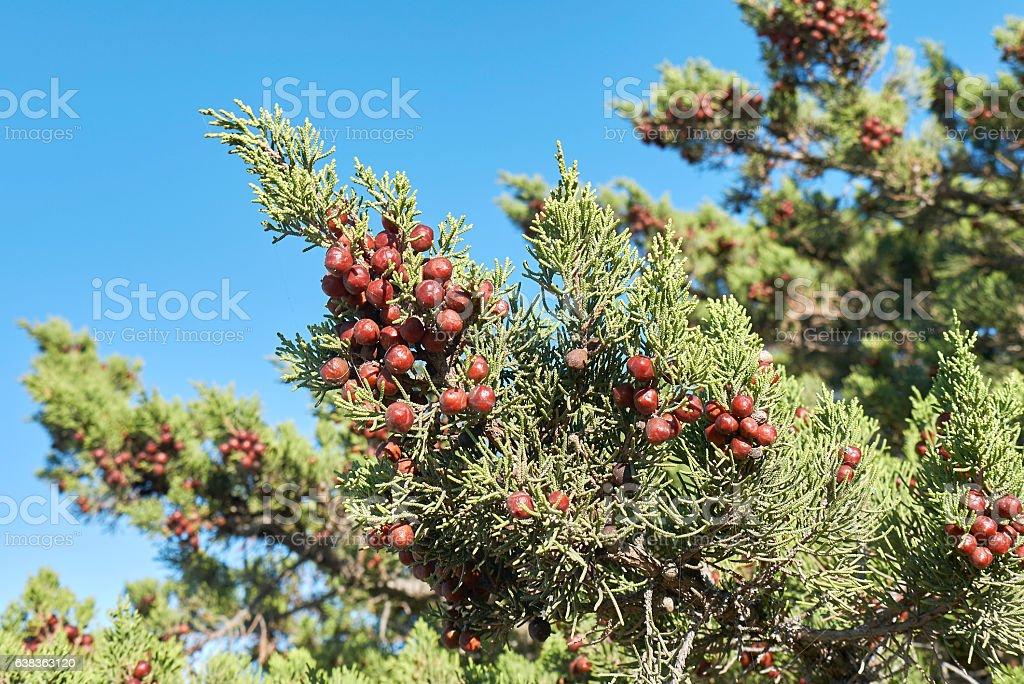 Juniperus phoenicea stock photo
