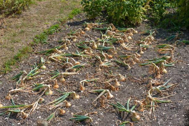Jurassic Coast- Devon: Beer_onions field stock photo