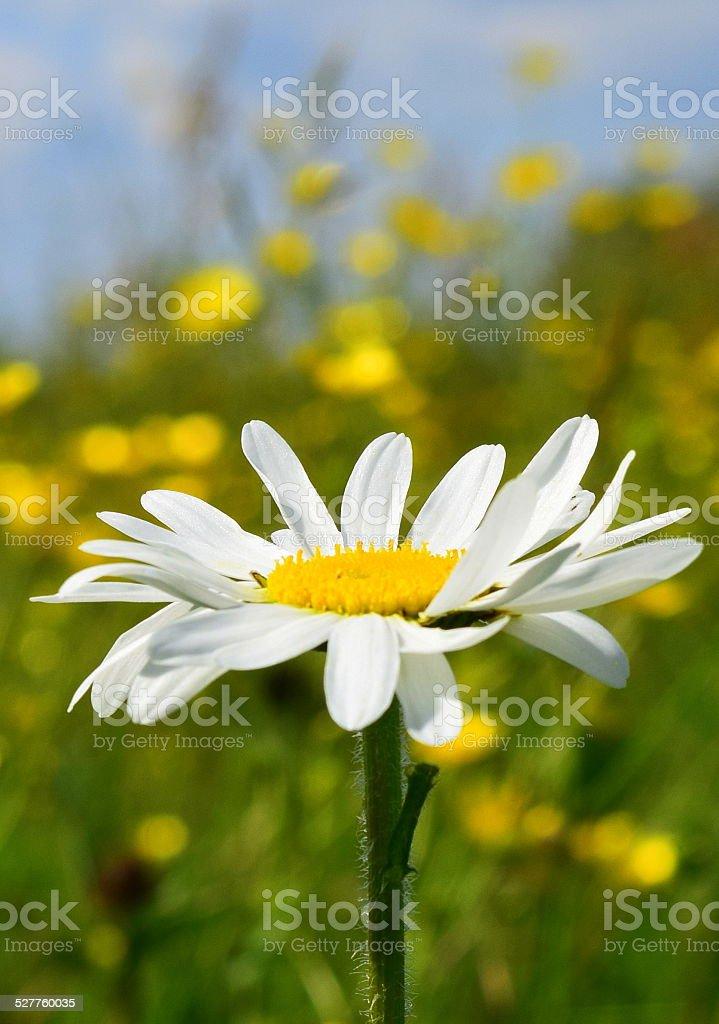 Just a Daisy stock photo