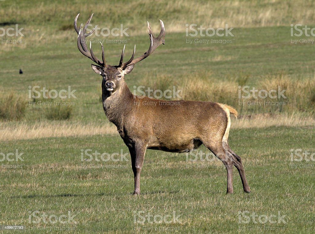 Adult red deer stag in prime condition stock photo