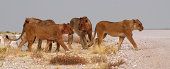 Pride of lions resting under a tree next to the salt pan of Etosha National Park