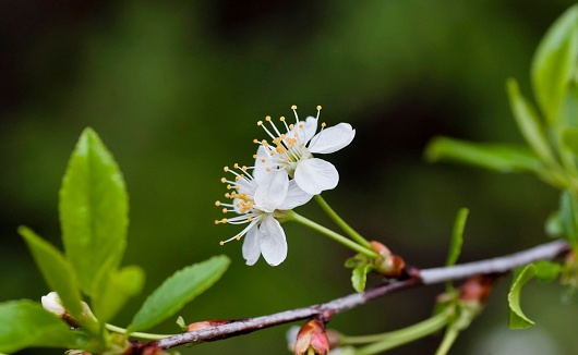 Just Bloomed Cherry Flowers Stock Photo - Download Image Now