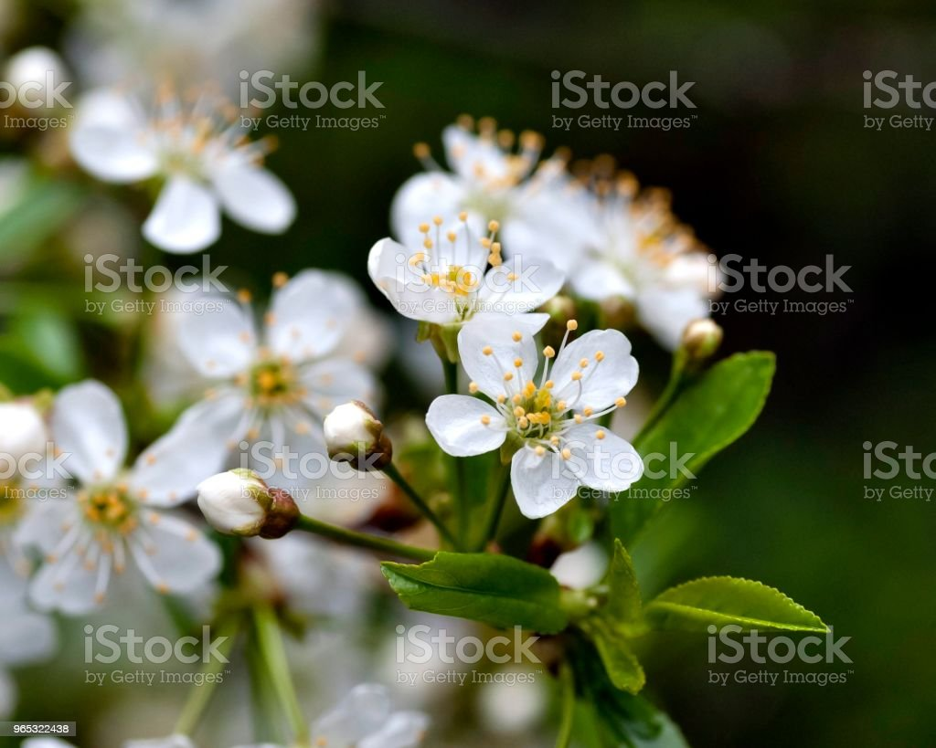 just bloomed cherry flowers royalty-free stock photo