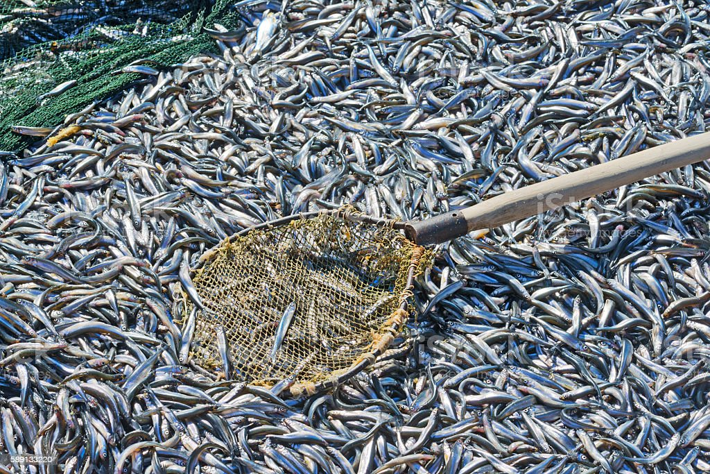 Just caught  bunch of fish smelt in  boat close up. stock photo