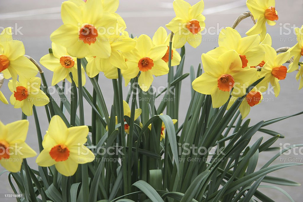 Just Daffodils royalty-free stock photo