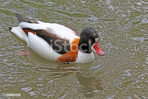 A duck swims around in a small lake in a northwestern Switzerland forest.