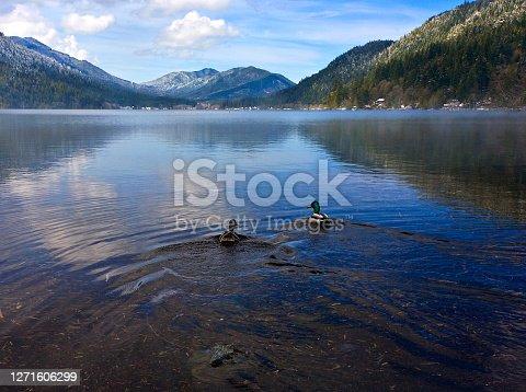 A pair of Mallard Ducks enjoying a swim on a mountain lake.