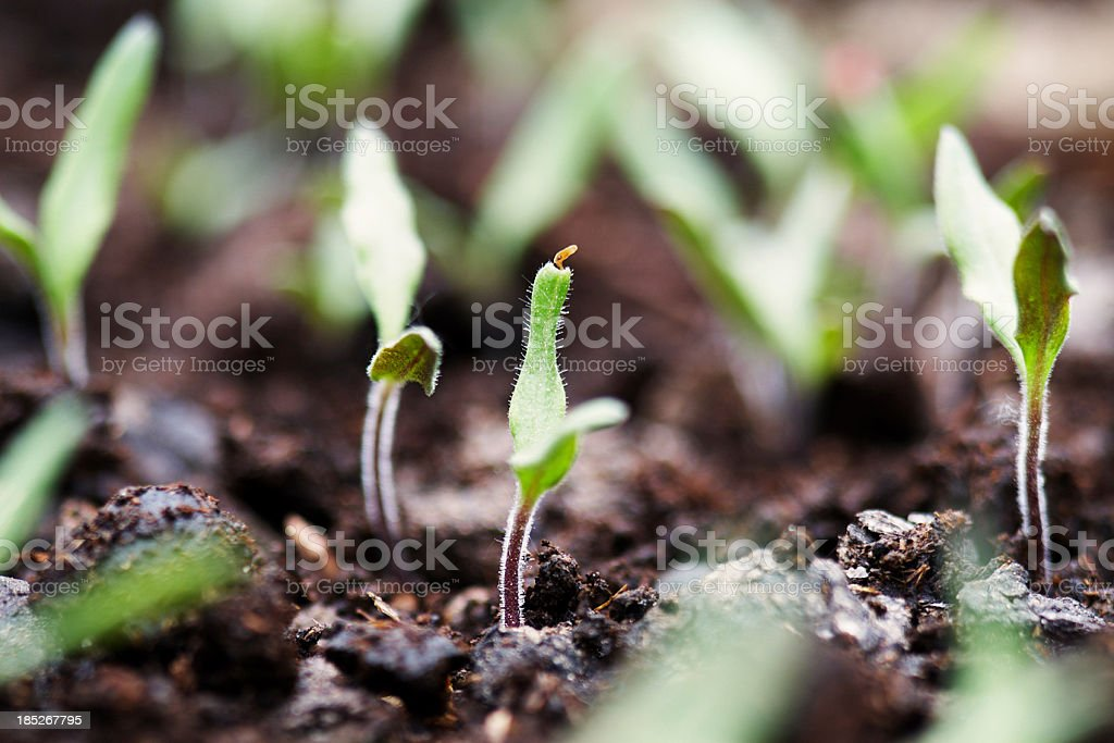 Just emerged from the soil stock photo