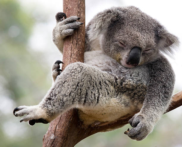 just hanging  koala stock pictures, royalty-free photos & images