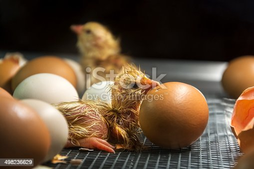 Few minutes old chicken in incubator among eggs. Find more in
