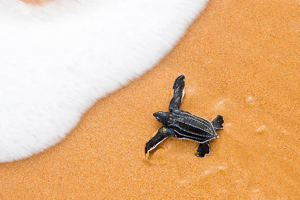 just hatched from an egg baby leatherback creeps into  ocean - leatherback stockfoto's en -beelden