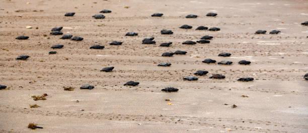 Gerade geschlüpften Schildkröten gehen in Richtung Meer – Foto