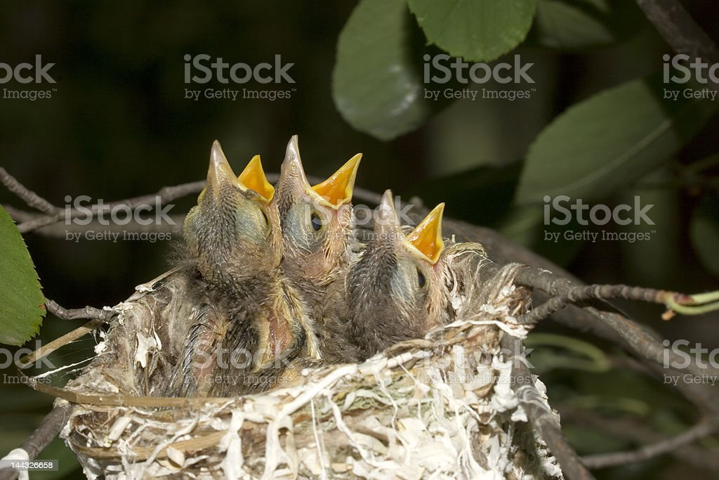 just hatched red-eyed vireos stock photo