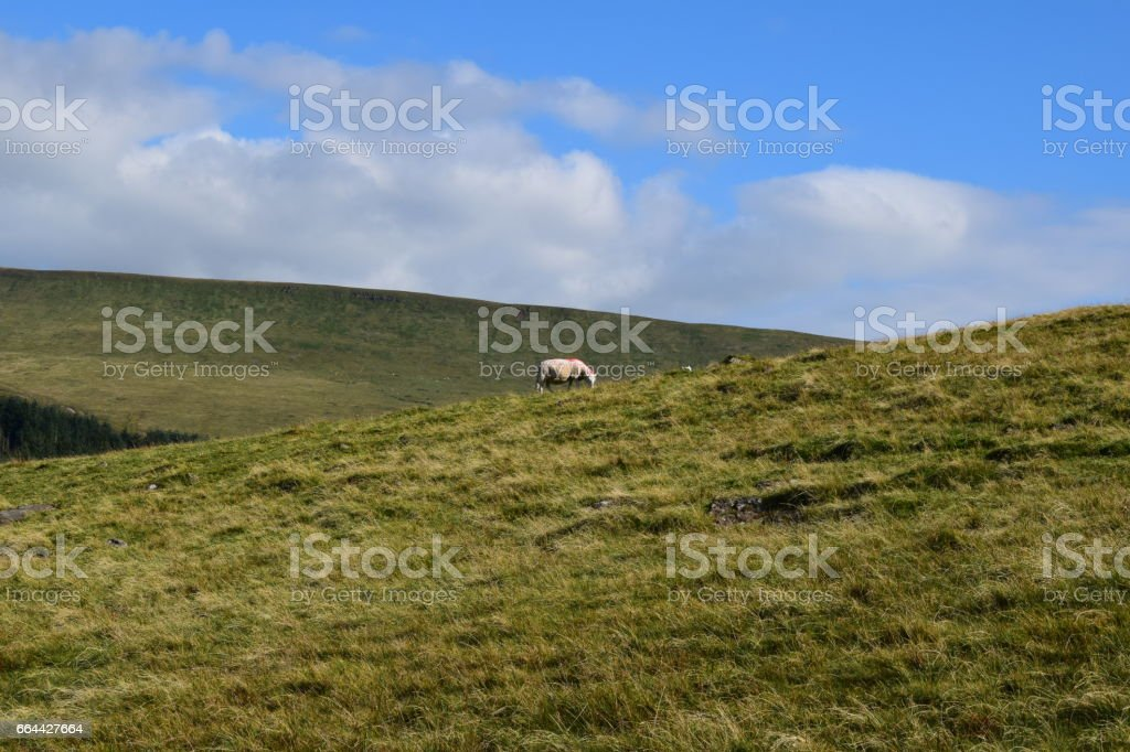 Just one Sheep stock photo