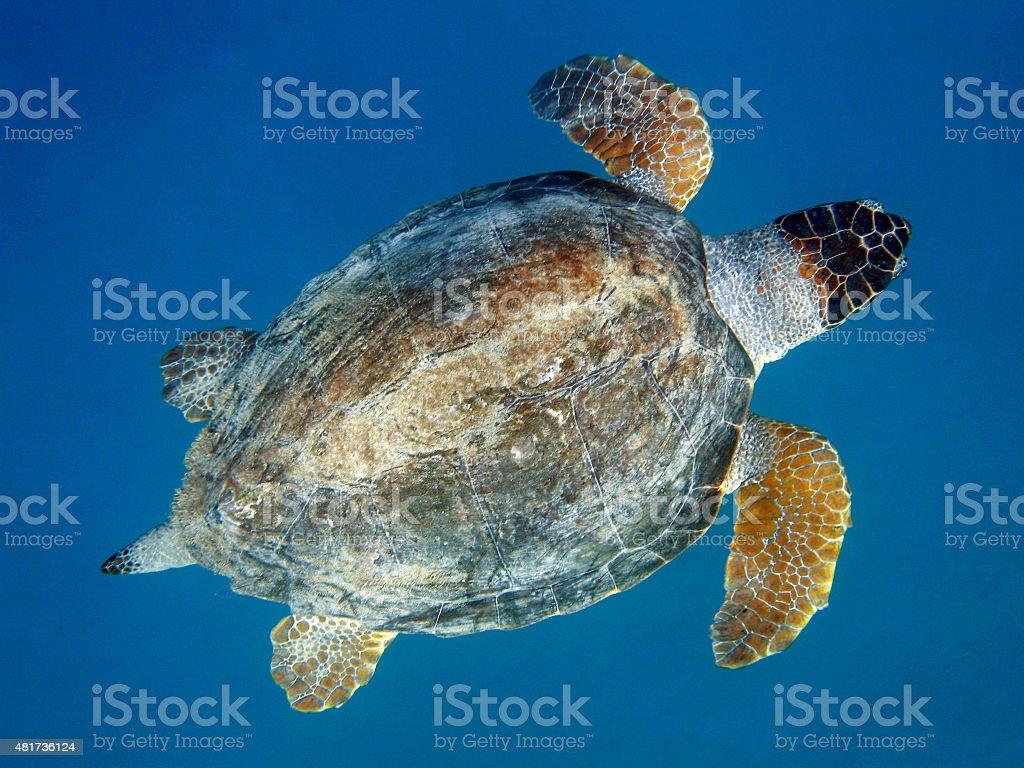 Just over a Sea Turtle, Caretta Caretta stock photo