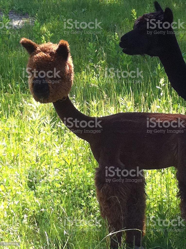 Just Shorn Baby Alpaca stock photo