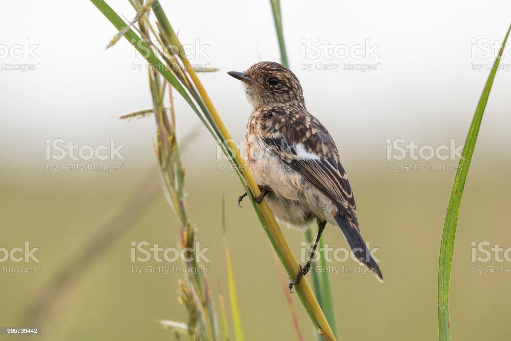 Juvenile African stonedchat on grass stalk - Royalty-free Africa Stock Photo