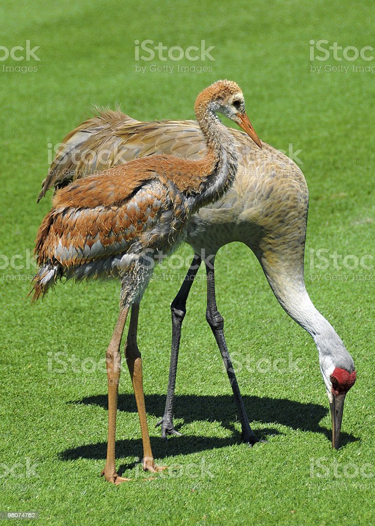 Juvenile and Adult Florida Sandhill Cranes royalty-free stock photo