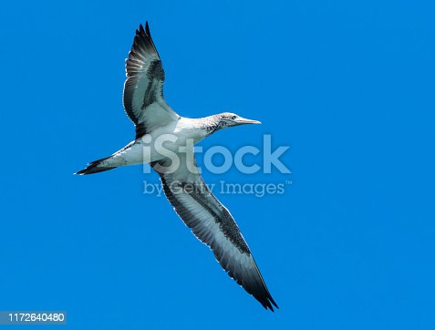Large white bird in flight with wings spread against a blue sky