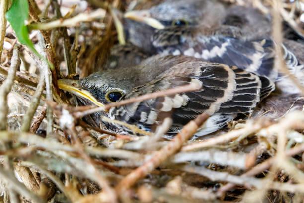 Juvenile baby Northern Mockingbirds chicks in tree nest stock photo