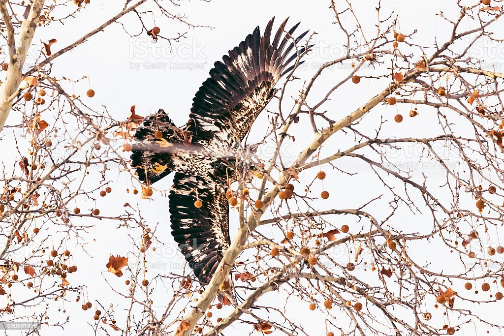 Juvenile Bald Eagle Flying Over Bare Tree Branches stock photo