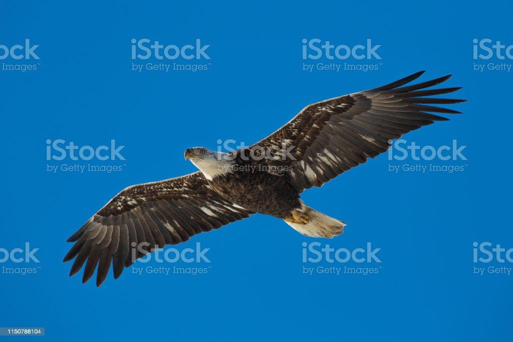 Juvenile bald eagle flying - Royalty-free Animal Wildlife Stock Photo