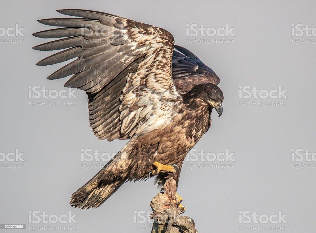Juvenile Bald Eagle Landing stock photo
