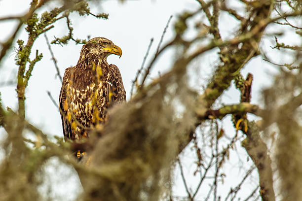 Juvenile Bald Eagle Perching in a Moss Covered Oak Tree stock photo