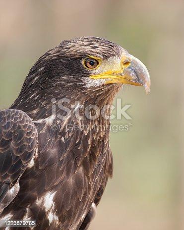 A juvenile bald eagle portrait.