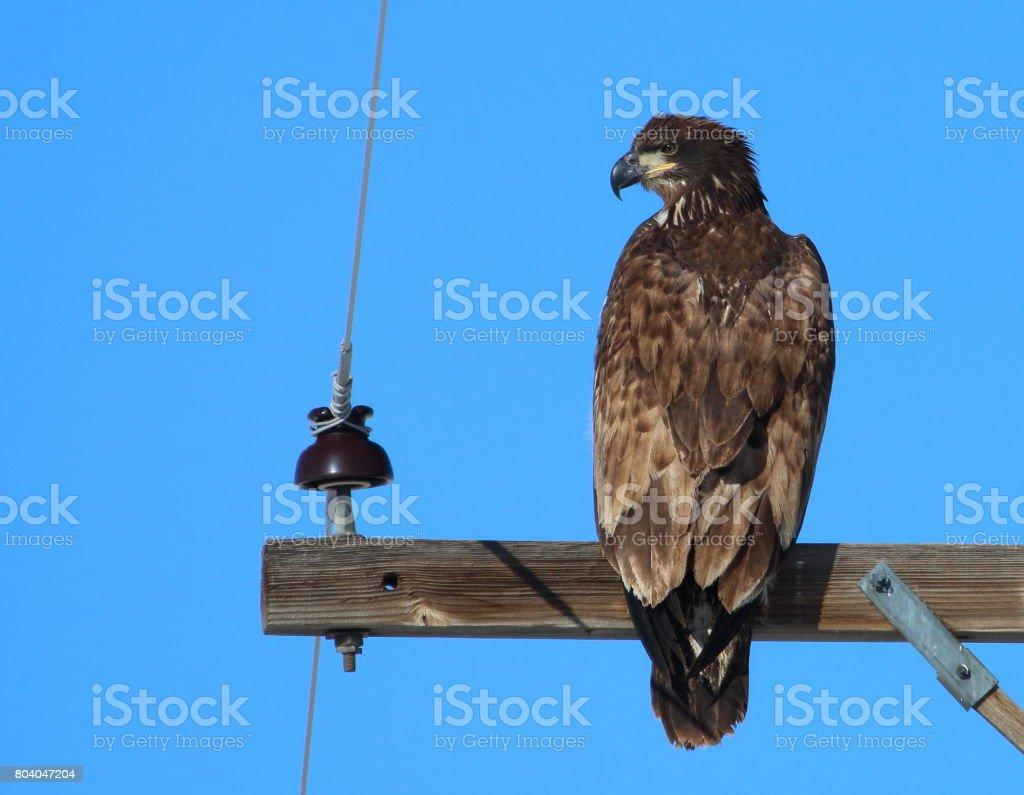 Juvenile Bald Eagle stock photo