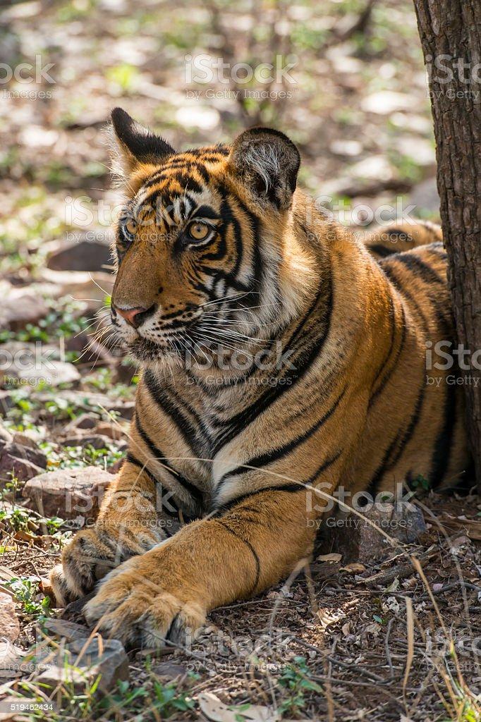 Juvenile Bengal tiger (Panthera tigris tigris), wildlife shot stock photo