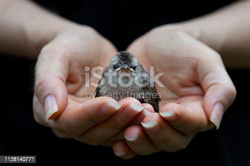 Fledgling bulbul bird sitting in mercy hands looking at photography with black background,front view.