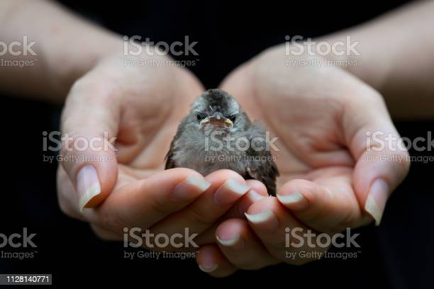 Juvenile bird fate is in the hands of human picture id1128140771?b=1&k=6&m=1128140771&s=612x612&h=2hzxx6zqqtqtjiojsliekujct0aisgi49c8vrrfdhkw=