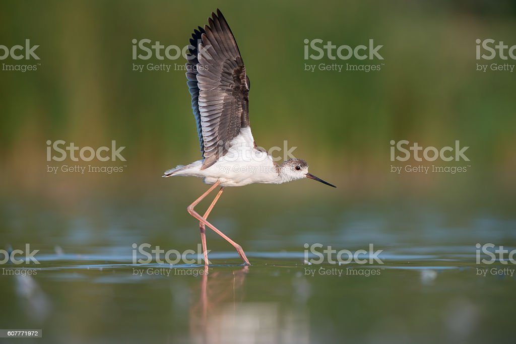 Juvenile Black-winged Stilt stock photo